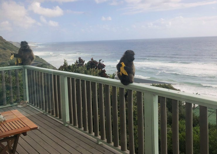 Baboons eating bananas in front of the house, Misty Cliffs, photo by Daria Rasmussen, Bliss & Stars.jpg